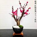 盆栽 梅 別格 紅梅 80〜100個以上の蕾 樹齢5年 極太幹の梅盆栽 樹形美と枝振りが抜群に良い迫力ある樹姿盆栽 梅 室内 …