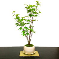 盆栽師仕立て「清涼感溢れる」山もみじ盆栽寄せ植え【紅葉盆栽】【もみじ盆栽】