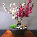 敬老の日 盆栽 紅白梅 200個前後の蕾 別格 樹齢6年 極太幹 梅 盆栽盆栽 梅 初心者 室内 誕生日 プレゼント おしゃれ …