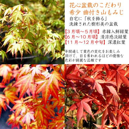 綺麗で真赤な絶景初出荷樹齢5年山もみじ盆栽信楽焼鉢
