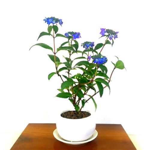 【盆栽専門店】【父の日に贈る盆栽】【父の日ギフト】【極上品質保証】