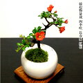 【70代男性】喜寿祝いのプレゼント!初めてでも育てやすいお花の盆栽って?