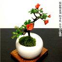 盆栽 敬老の日 長寿梅 即日出荷 福寿の長寿梅 ミニ盆栽 3,5号鉢 極上樹の本格長寿梅 縁起物として大人気盆栽 ミニ盆栽…