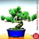 盆栽 五葉松 楽天ランキング1位受賞《別格 銀緑葉の輝き》禅の心五葉松 Wプレゼント特典必見 樹齢10年の貫禄の風格【…