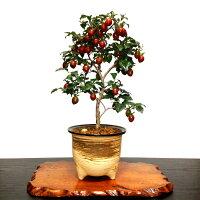 【誕生日祝い盆栽】【老爺柿盆栽】【実物盆栽】ローヤ柿盆栽