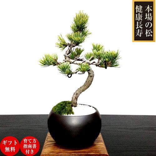【敬老の日盆栽ギフト】【和インテリア樹齢5年】【銀八房五葉松盆栽】