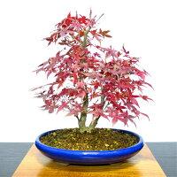 【もみじ盆栽】秋に向けて楽しむ紅葉盆栽樹齢5年真っ赤な紅葉出猩々もみじ盆栽