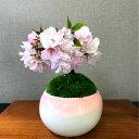盆栽 桜 ミニ 八重桜 20前後の蕾付 樹齢3年 極太幹の一才桜盆栽 八重咲 40輪以上の花を咲かせる八重桜 盆栽盆栽 桜 ミ…