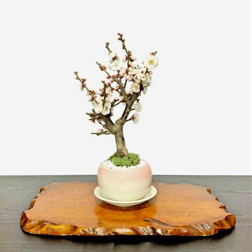 大輪花がたくさん咲く白梅盆栽『一級品玉牡丹』【樹齢5年極太幹の梅盆栽八重咲き玉牡丹】【50個以上の蕾をつけた八重白梅盆栽】
