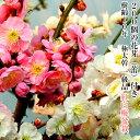 盆栽 梅 紅白梅 樹齢10年 思いのまま 楽天1位受賞 1級品 極太幹 紅白梅 盆栽 八重咲き 梅盆栽 室内 初心者 趣味 癒し …