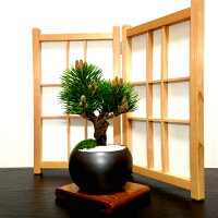 盆栽四国ブランド樹齢3年黒松盆栽縁起の良い松盆栽お祝い盆栽ギフト運気の上がる植物盆栽松
