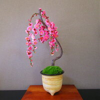 梅盆栽40〜50個以上の花芽一重咲きしだれ梅盆栽