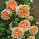 バラ 苗 イングリッシュローズ 【バスシーバ 大輪 四季咲き】 2年生 接ぎ木大苗 6リットル 鉢植え 薔薇 ローズ バラ …