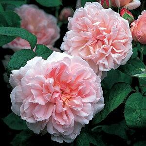 バラ 苗 イングリッシュローズ 【エグランタイン 大輪 返り咲き】 2年生 接ぎ木大苗 6リットル 鉢植え 薔薇 ローズ バラ の 苗