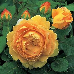 バラ 苗 イングリッシュローズ 【ゴールデンセレブレーション 大輪 返り咲き】 2年生 接ぎ木大苗 6リットル 鉢植え 薔薇 ローズ バラ の 苗