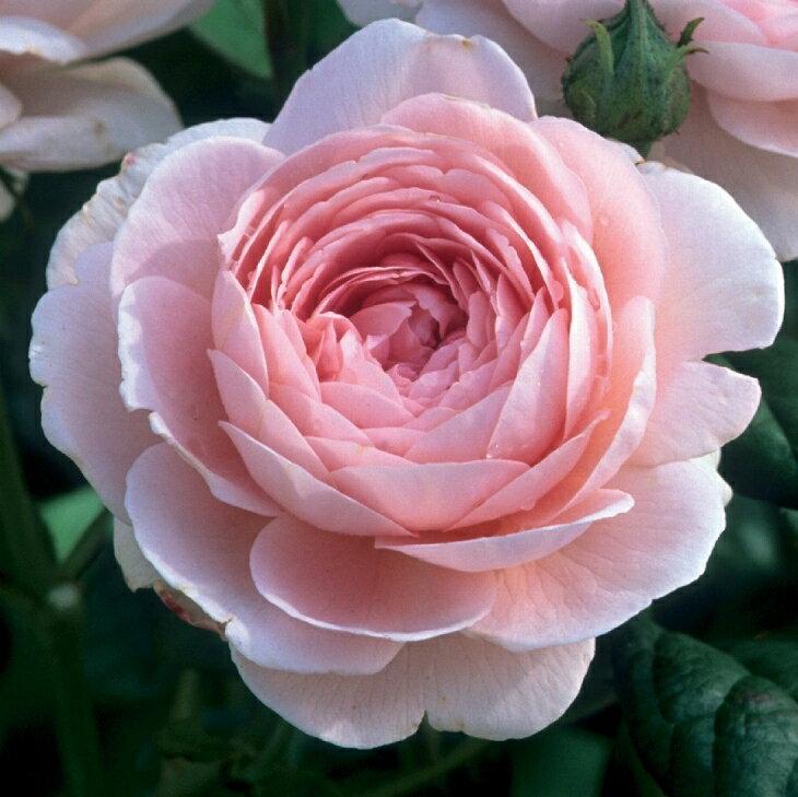 バラ 苗 イングリッシュローズ 【クィーン オブ スウェーデン 中輪 返り咲き】 2年生 接ぎ木大苗 10リットル 鉢植え 薔薇 ローズ バラ の 苗