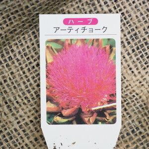 ハーブ 苗 【アーティチョーク】 3号ポット苗 アーティチョーク茶 ハーブティー 料理 ドライフラワー ポプリ 庭植え