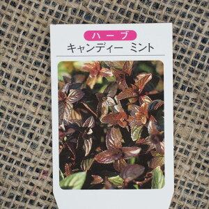 ミント 苗 【キャンディーミント】 3号ポット苗 ハーブ 苗 ハーブティー 料理 ドライフラワー ポプリ 庭植え 栽培