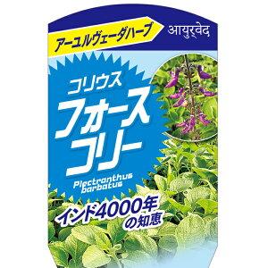 ハーブ 苗 【コリウス フォースコリー】 約0.2m 挿し木苗 お茶用 ハーブティー 料理 庭植え