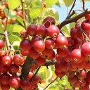 リンゴ 姫リンゴ【アルプス乙女 1年生接木苗 】 林檎 果樹苗 苗木