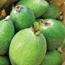 ◆送料無料◆ フェイジョア 苗 【アポロ】 1年生 接木 ポット苗 (ニーム小袋付き) フィジョア パイナップルグアバ …
