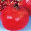 ザクロ 苗 【カリフォルニアザクロ】 1年生 挿し木 ポット苗 柘榴 石榴 若榴 苗木 果樹 果樹苗