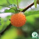 木イチゴ 【キイチゴ 根巻き苗】 果樹苗木 果樹苗 キイチゴ 苗 木苺
