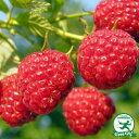 ラズベリーサマーフェスティバル【二季成り】果樹苗木 果樹苗 キイチゴ 大実