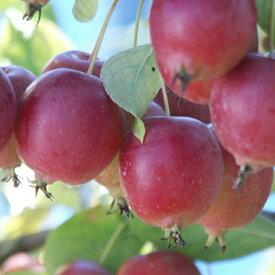 リンゴ 【スイートアリス 1年生接ぎ木苗 】 林檎 果樹苗 苗木クラブアップル