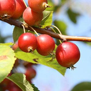 リンゴ 【スイートメイデン 1年生接ぎ木苗 】 林檎 果樹苗 苗木クラブアップル