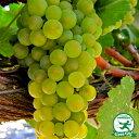 ぶどう 苗木 【白ワイン用品種 モンドブリエ】 1年生 ウイルスフリー 接ぎ木 ポット苗 葡萄 ぶどうの木 通販 果樹 苗 …
