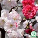 花桃 苗 【源平しだれ桃】 1年生 約0.9m ポット苗 はなもも 苗木 庭木 落葉樹 シンボルツリー