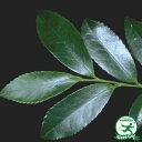 ヒサカキ庭木 常緑樹 生け垣 低木仏様にお供えする榊