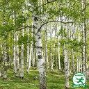 シラカバ 苗 【シラカバ】 ポット苗 白樺 苗木 植木 庭木 シンボルツリー 落葉樹 高木