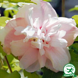 ムクゲ 苗 【ピンクデライト】 5号ポット苗 木槿 苗木 庭木 落葉樹 シンボルツリー