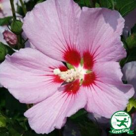 ムクゲ 苗 【ピンク一重】 5号ポット苗 木槿 苗木 庭木 落葉樹 シンボルツリー