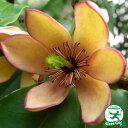 カラタネオガタマ 白花5号ポット苗庭木 常緑樹 低木