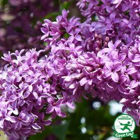 ライラック 苗 【ライラック 紫花】 約1.0m 根巻き大苗 ムラサキハシドイ リラの木 苗木 庭木 落葉樹 シンボルツリー