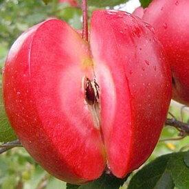 りんご 苗木 【YD(矮性台木) ルビースイート】 3年生 接木 ポット大苗 林檎 苗 果樹 果樹苗