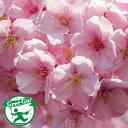 桜の苗木【河津桜】カワズザクラ1年生 接ぎ木苗