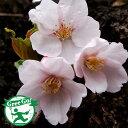 桜の苗木【染井吉野 桜】ソメイヨシノザクラ1年生 接ぎ木苗