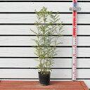 シマトネリコ【シマトネリコ 0.7mサイズ 大苗】 常緑樹 半落葉 シンボルツリー高木