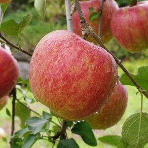 りんご 苗木 【シナノスイート】 1年生 接ぎ木 ポット苗 林檎 苗 果樹 果樹苗