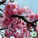 桜 苗木 【おかめ桜】 1年生 接ぎ木苗 桜の木 オカメザクラ 桜の木 桜の苗木 植木 花木 庭木 シンボルツリー 記念樹 …