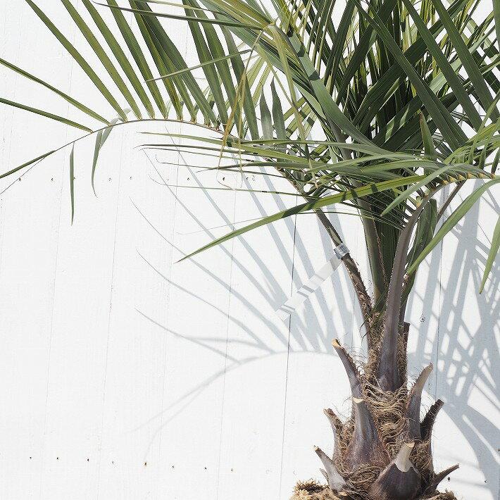 ■エントリーでポイント5倍■ ヤシの木 苗 【ココスヤシ】 1m根巻き苗 南国風ガーデン 苗木 耐寒性 シンボルツリー 庭木 熱帯樹