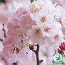 桜の苗木【神代曙 桜】ジンダイアケボノ ザクラ1年生 接ぎ木苗 ソメイヨシノの代替品種
