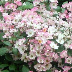 ◆訳あり アウトレット品◆ バラ 苗 【つるバラ バレリーナ (CL) ミニバラ 返り咲き】 2年生 接ぎ木大苗 薔薇 ローズ バラ の 苗