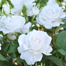 バラ 苗 ドリュ 【アンナプルナ (HT)】 2年生 接ぎ木大苗 薔薇 フレンチローズ