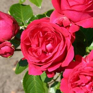 ◆送料無料◆ バラ 苗 栽培セット 【つるバラ エデンローズ (CL) 一季咲き】 1年生 接ぎ木苗 栽培セット (専用土・化成肥料・スリット鉢付き) 苗木 栽培キット アーチ向け 薔薇 ローズ バラ