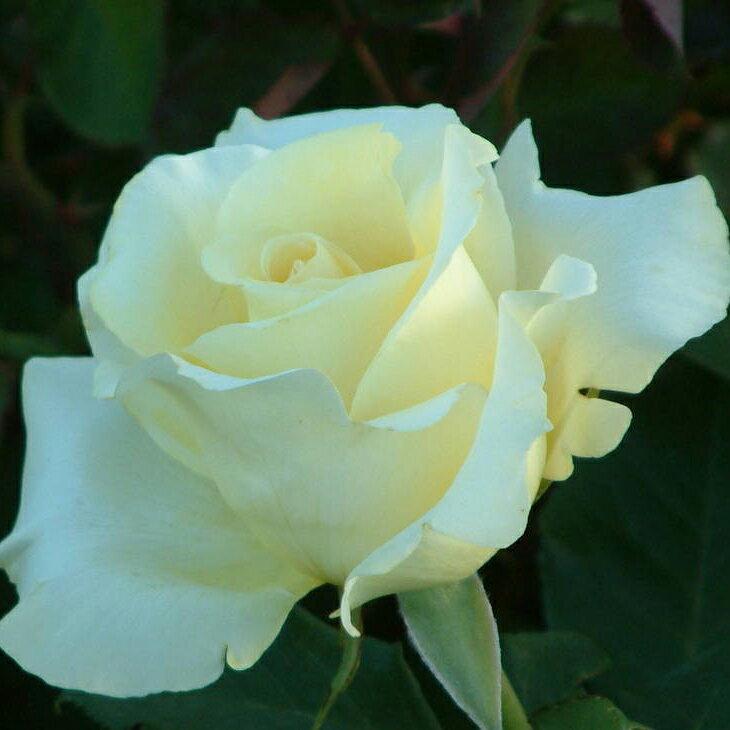 バラ 苗 【エリナ (HT) 大輪 四季咲き】 2年生 接ぎ木大苗 薔薇 ローズ バラ の 苗